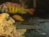 Haplochromis sp victorians malawi fish