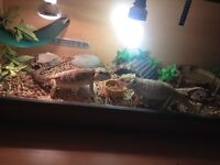 Male and female bearded dragons and full set up