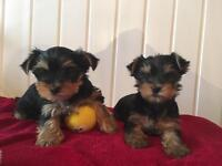 "Mini yorkie ""Yorkshire Terrier"" puppies... champion sired"