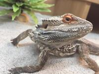 Lovely bearded dragon and full set up with extra basking light bulb
