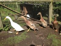 Four 1 year old male runner ducks