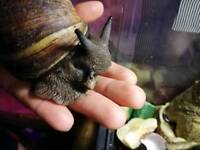 GIANT African Land Snail!