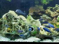 Mixed cichlids