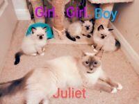 3 Beautiful Tica Registered Ragdoll Kittens