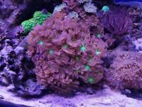 corals , sailfin tang