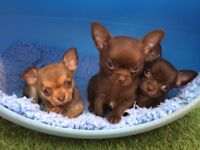 Chocolate chihuahua pups kc registered