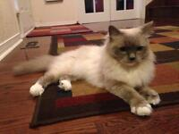 One month temporary home for male and female Ragdoll cats FREE.