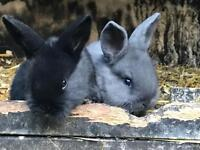 2x Black Baby Rabbits for Sale in 1 month