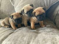 Frug puppies
