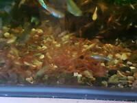 Cherry shrimp tropical fish