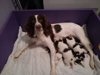 Beautiful Springer Spaniel Pups For Sale