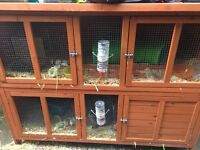 2 male Rabbits for sale