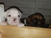 beautiful white puppy. very good pedigree