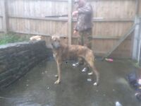 Lurcher dog forsale