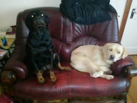 Rottie cross pups