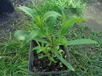 Plant for sale-Penstemon `burgundy'