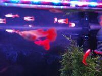 FULL RED ALBINO GUPPIES, EASY BEGINNER TROPICAL FISH, RED SHRIMP, BLACK SHRIMP