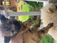 Porkie Pomeranian x mini Yorkshire terrier