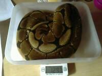 3x pythons and set up