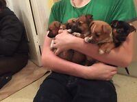 Jackawawa puppy's