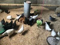 Hens in Scotland | Birds for Sale - Gumtree