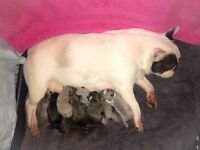 Stunning French bulldog pups for sale ready in 2 weeks kc registered, fully vaccinated