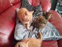 3 lovely long hair kittens for sale