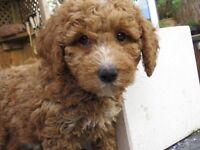 gorgeous F1b true miniature goldendoodle pups