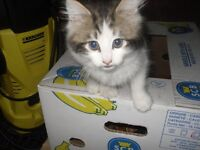 absolutely gorgeous 10 week old female kitten white and black really fluffy £50