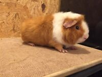 Very friendly male guinea pigs