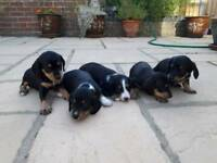 Stunning litter of 5 puppies