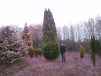 huge 20ft plus conifer dug from field,