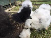 2 Silkie chickens / hens