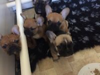 French bulldog puppies blue&Tan gene carriers