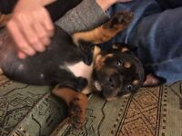 Bulldog x rotweiller pup