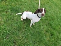 Springer spaniel kc registered boy dog