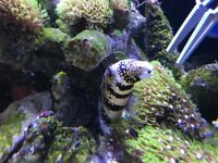 Snowflake moray eel marine fish