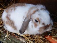 Rabbit needing new home