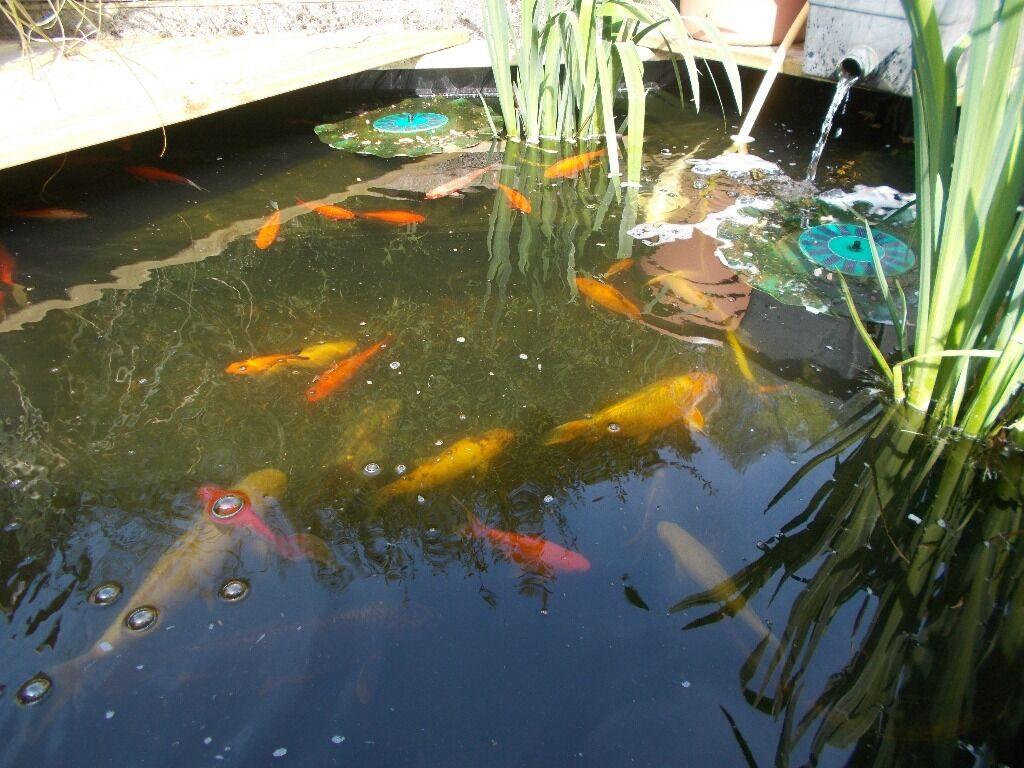 Tropical fish wanted buy sale and trade ads great prices for Pond fish wanted