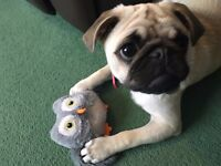 Gorgeous Fawn Puppy Pug Friendly And Gental Good With Children!