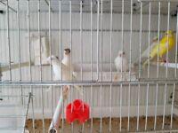 Spanish Raza Canaries
