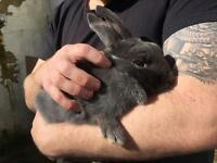 8 month old grey remale rabbit