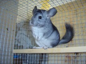 chinchilla for sale 3 months old, £50