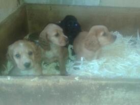 cockerspaniel puppies