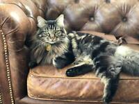 Missing Cat - Hoole - Neutered and Chipped