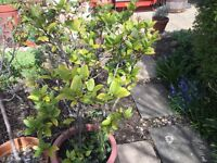 Bay tree in nice pot