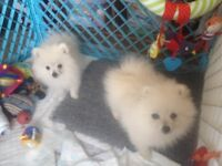 Absolutely gorgeous Spitz puppies for sale