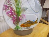 Silver and gold Goldfish