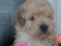 absolutley beautiful toy poodle puppies pure bred