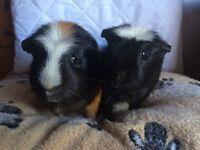 Bonded Male Guinea pigs